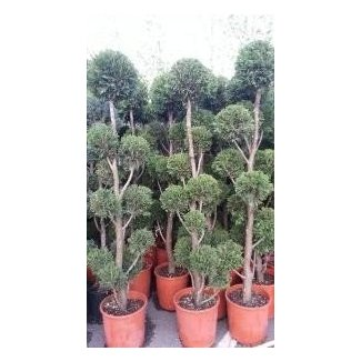 Live topiary plants for sale