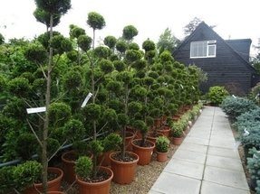 Live topiary trees for sale