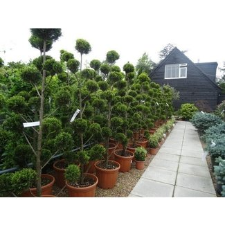 Topiary Trees For Sale Ideas On Foter