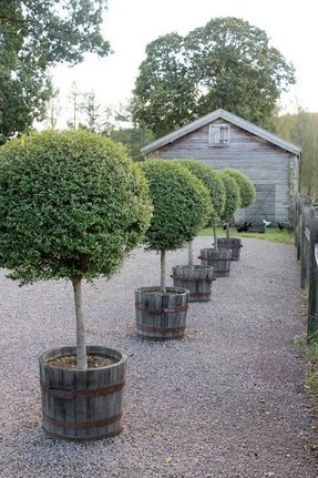 Boxwood topiary trees 3