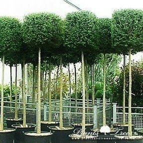 Live topiaries for sale